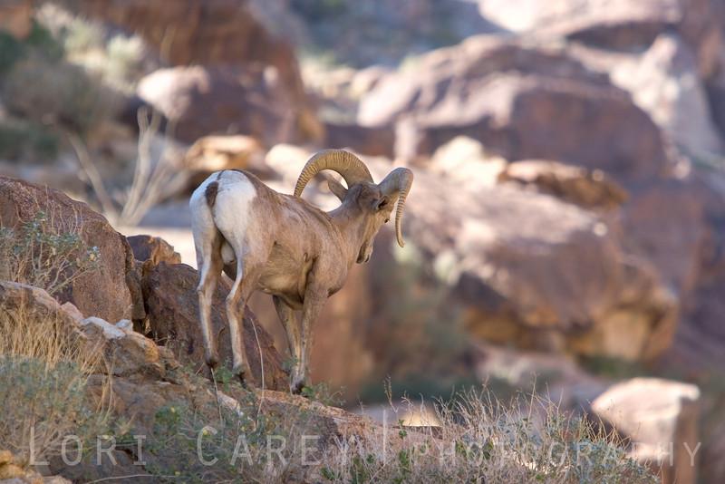 Peninsular (desert) bighorn sheep (ovis canadensis cremnobates) in Anza-Borrego Desert State Park