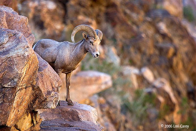 A peninsular bighorn ram in Anza Borrego Desert State Park