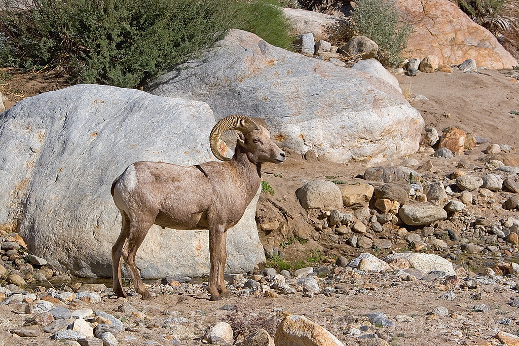 Just look at those gorgeous hazel eyes! Although I was set up across the stream from the herd, this ram crossed over to check me out a few times. <br><br> Peninsular (desert) bighorn ram in a riverbed in Palm Canyon in Anza-Borrego Desert State Park.Ovis canadensis has been listed under the California State Endangered Species Act (ESA) since 1971 and the Federal Endangered Species Act since 1998, but their numbers continue to decline rapidly due to urban expansion and mountain lion predation. Current estimates are that less than 800 remain in the US, with some estimates as low as 335.