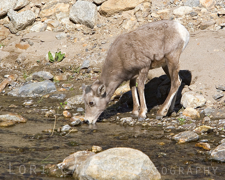 Peninsular (desert) bighorn button buck enjoying a cool drink of water at the stream.