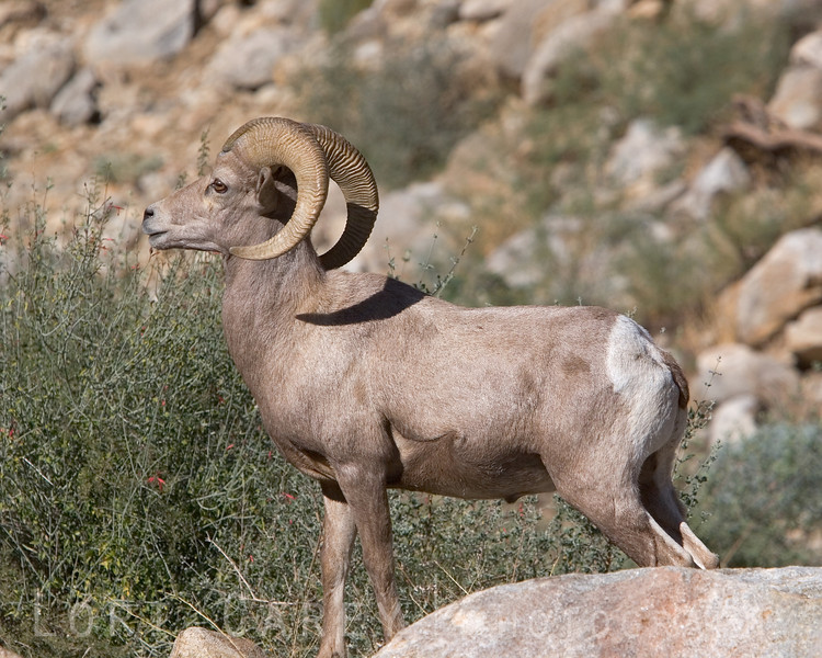 This ram just loved to strike a pose and show off. He was absolutely gorgeous.