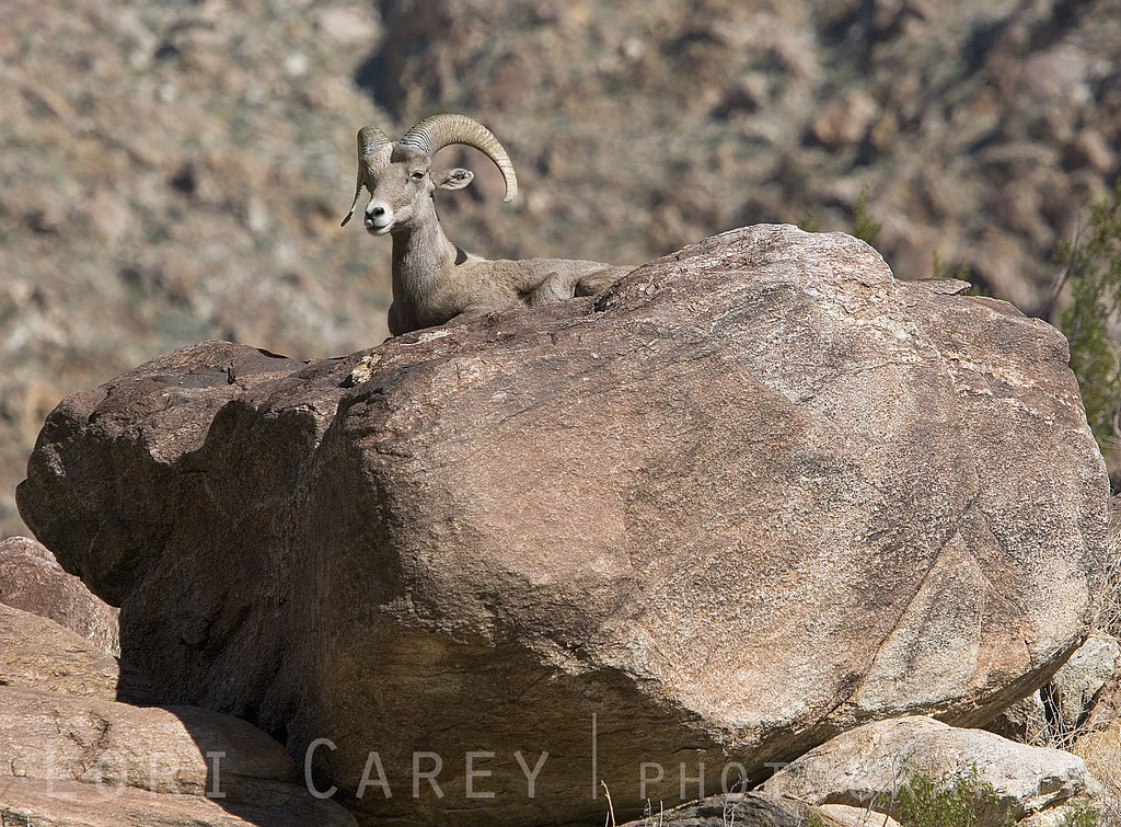 A Peninsular Bighorn (Desert Bighorn) ram rests atop a large rock and chews his cud at midday in Borrego Palm Canyon, Anza-Borrego Desert State Park, California. Ovis canadensis has been listed under the California State Endangered Species Act (ESA) since 1971 and the Federal Endangered Species Act since 1998, but their numbers continue to decline rapidly due to urban expansion and mountain lion predation. Current estimates are that less than 800 remain in the US, with some estimates as low as 335.