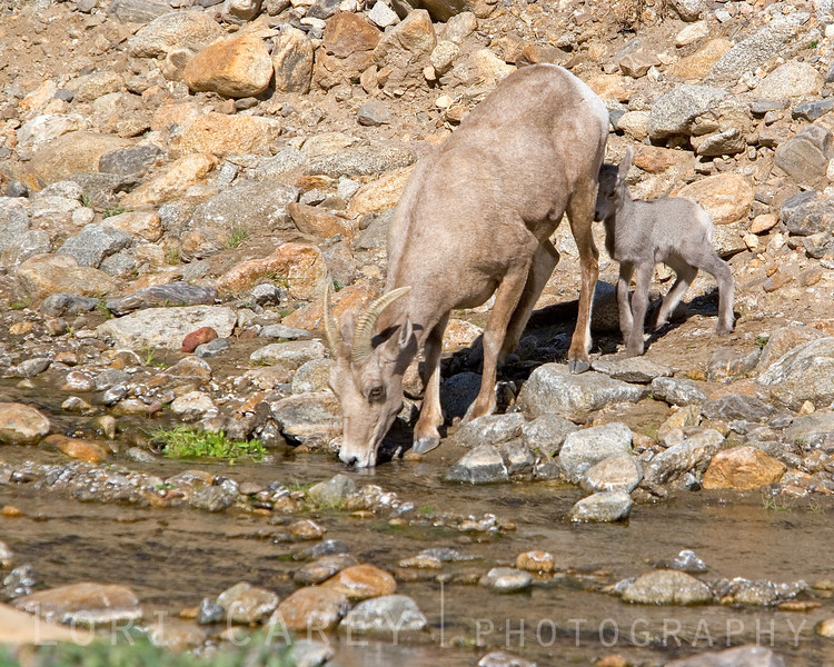 Ewe and lamb drinking from stream
