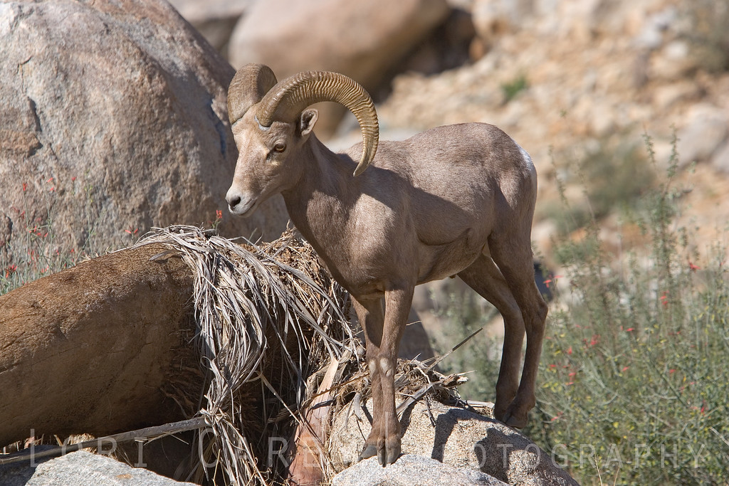 "Peninsular (desert) bighorn sheep (ovis canadensis cremnobates) in Anza-Borrego Desert State Park <br> <br> <a href='http://www.licensestream.com/LicenseStream/client/contentDisplay.aspx?cid=12175&fid=12888&l=r'><font color=""red"">License this Image</font></a>"