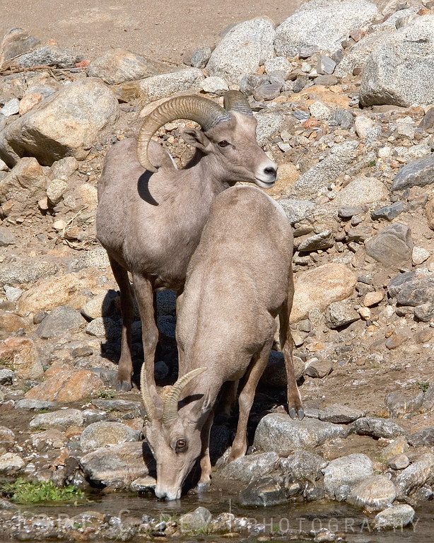 Desert bighorn ram am watching over the female as she drinks from the stream.