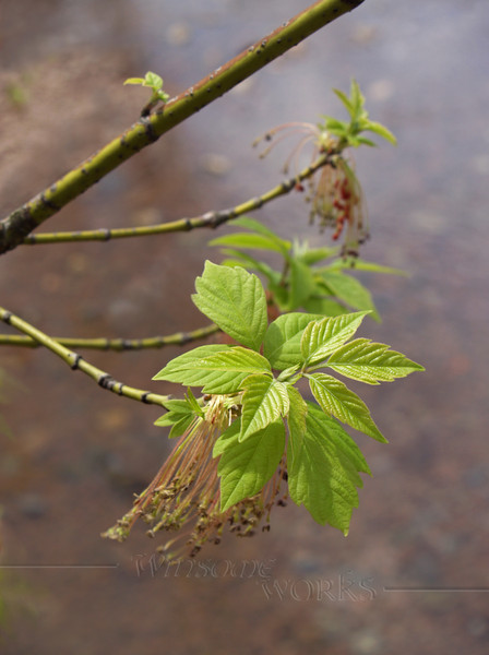 Acer negundo (Boxelder) in spring with new growth; also called ashleaf maple