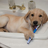 "Pet Portrait -  ""Nellie Brushing her Teeth"""