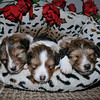 "Pet Portrait - ""Nestled All Snug in Their Bed"""