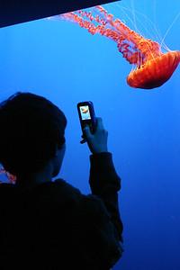 Moon jelliies, Monterey Bay Aquarium