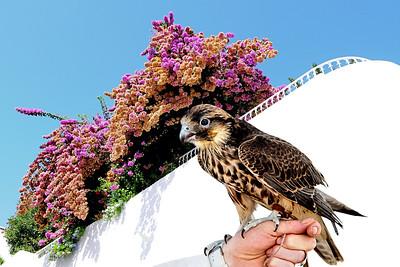 Falconry / Tunisia