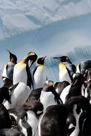 King Penguins / Antarctica