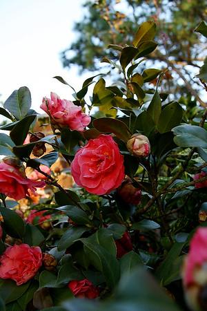 IMG#0005 Faye Harrell's Camelia garden.