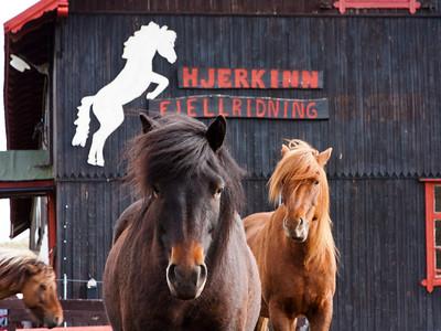 Icelandic horses at Hjerkinn 2