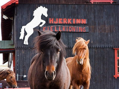 Icelandic horses at Hjerkinn 2