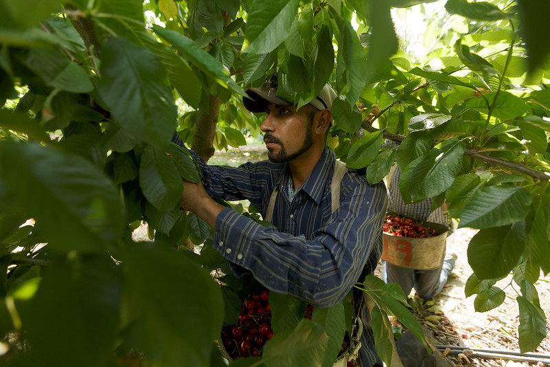 Pedro Garcia, an H-2A visa worker from Zacatecas, Mexico, picks Skeena cherries at K.S. Orchards, Saturday, June 27, 2015, in Royal City, Wash. The H-2A visa program exists to allow U.S. companies to temporarily hire foreign nationals for seasonal agricultural work. (Young Kwak/Pacific Northwest Inlander)