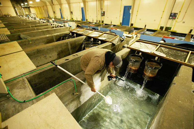 Fish Culturist T.J. Lebret removes Kokanee Salmon egg sacs out of a raceway at the Spokane Tribal Hatchery, Wednesday, Feb. 18, 2015, in Wellpinit, Wash. Young hatchlings can get smothered in the egg sacs. (Young Kwak/Pacific Northwest Inlander)