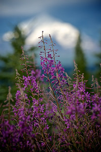 Fireweed Flowers, Copper River Area, Alaska.