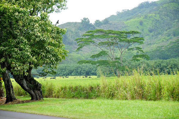 African Tree in Green Meadow, Kauai