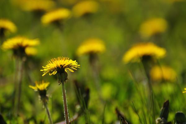 Goldenrod Flower At Earthquake Park - Anchorage, Alaska