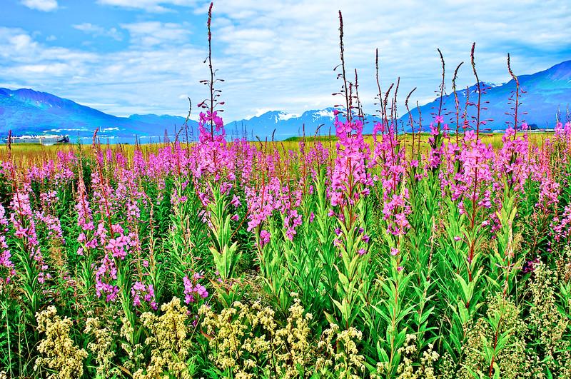 Fireweed Flowers At Old Valdez, Alaska
