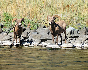 Two Rams Drink Water Along The Snake River