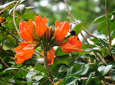 Bright Orange Flower, Kauai