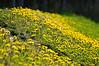 Goldenrod Flowers At Earthquake Park - Anchorage, Alaska