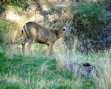 Deer Grazes Along The Snake River