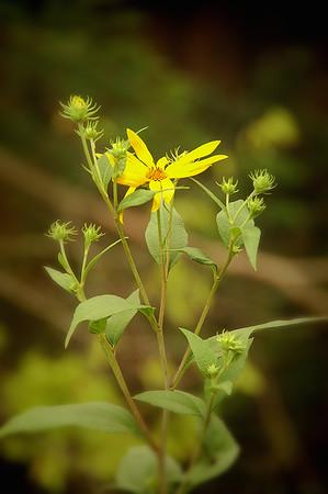 Maximilian's Sunflower
