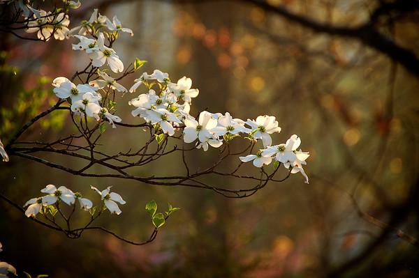 Dogwood Blooms-Morning Sun