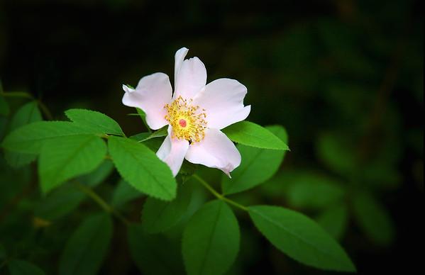 Wild Pink Rose