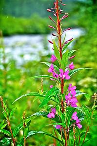 Fireweed Flowers - Alaska