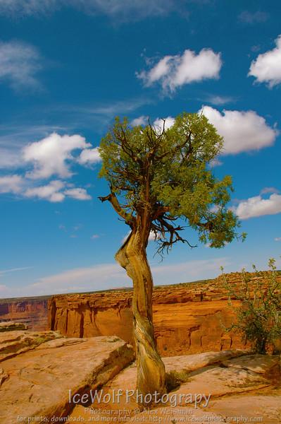 Deadhorse Tree