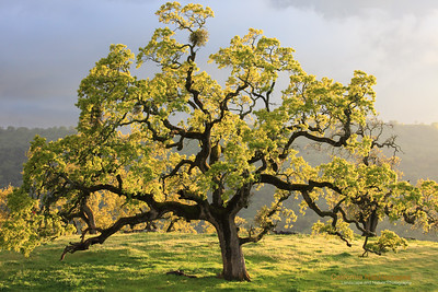 """The Tree That Giveth Life"" Location: Joseph D Grant State Park, California.  When I saw this oak tree on the rolling hills of California I was struck by warmth and purity of light bathing the canopy of new leaves. The air was chill but fresh. The moisture in the air after rainstorm was very refreshing. The lush green color of the grass and the new sprouting leaves was very pleasing to look at. I sat here thinking this is how elements would have come together to create and nurture life. It was certainly a very Feng-Shui moment for me.  Tech Info: Lens: Canon EF 70-200 f/4L IS @ 70mm Camera: Canon EOS 5D Mk II Exposure: 1/60sec at f/14 and ISO 640 Filters: No filters"