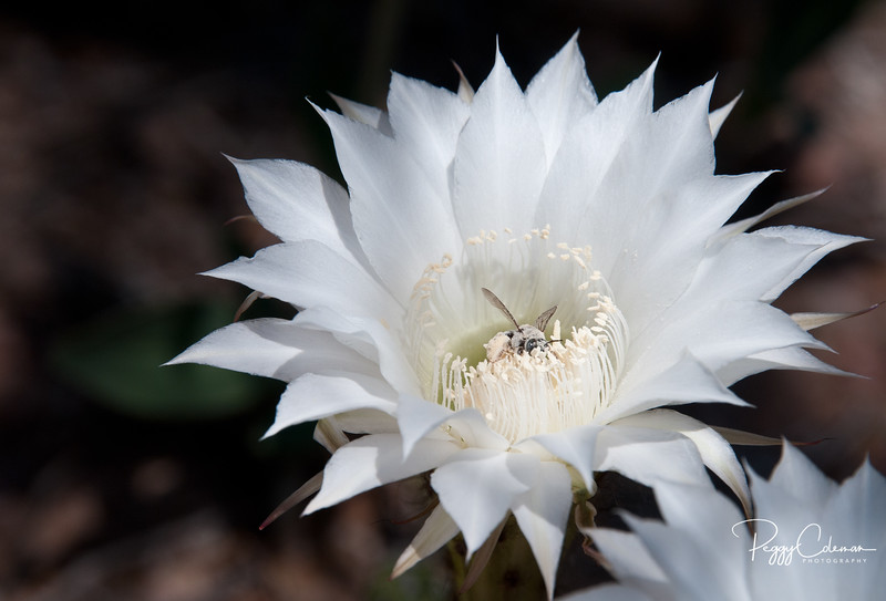 The Bee in the Night Bloomer
