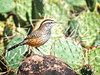CW-- My Buddy! The Cactus Wren