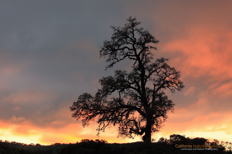 """""""Sunset and California's Oak Tree"""" <br>Location: Joseph D Grant State Park, California.  <p><p>What a day today! Monday always starts off busy and you never seem to have enough time. It has been raining on and off all day today but it was a perfect weather for landscape shots. I almost thought of taking a day off today but that did not materialize. Anyway, the best I could hope for was to run to the hills after work and catch those fleeting moments at sunset. It was indeed an awesome sunset and I was just happy to be here and witness all the drma in the sky.  <p>Tech Info: <br>Lens: Canon EF 70-200 f/4L IS @ 70mm <br>Camera: Canon EOS 5D Mk II <br>Exposure: 1/15sec at f/13 and ISO 200 <br>Filters: No filters (Though I think I should have used ND filter but light was changing so fast and I was pressed for time that I just managed to setup a tripod and catch this)"""