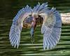 Shazaam!! The Green Heron Strikes Again!