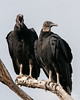 Black Turkey Vultures