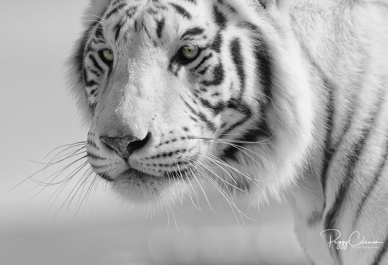 Chalet a White Tiger