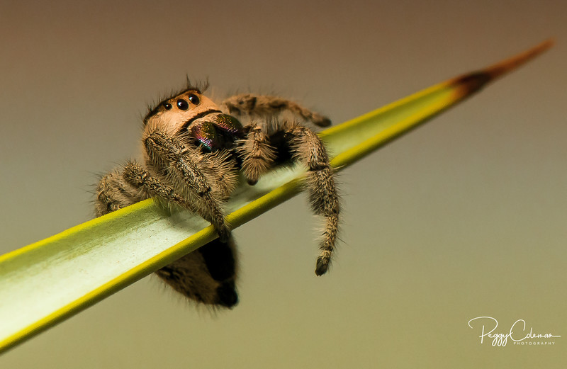 Just Hanging Out! --With a Jumping Spider- Macro Division Finalist 2015