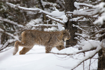 Canada Lynx - Spray Lakes, Alberta