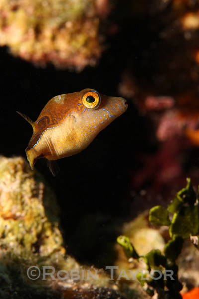 A Sharpnose Puffer glances back at the photographer.