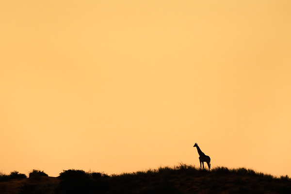 Giraffe Silhouette, Kgalagadi Transfrontier Park, South Africa.
