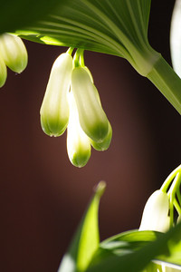 Solomon's Seal caught in the light