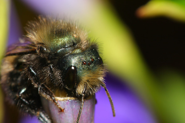 A carpenter bee adding material to a nest in a hollow stem