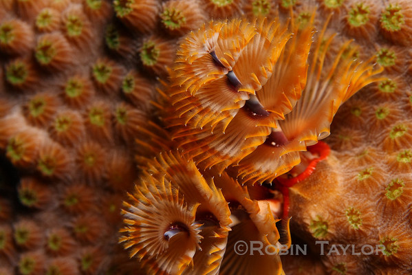 A Christmas Tree Worm.