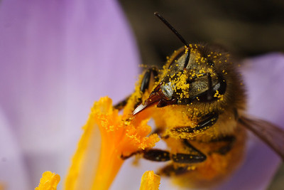 A Honeybee covered in pollen using it's proboscis to gather nectar