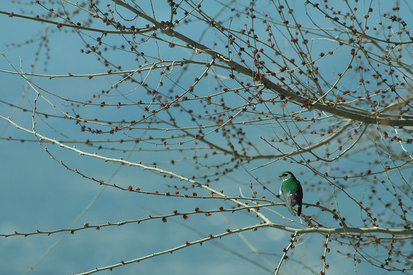 A blue-green swallow takes a break