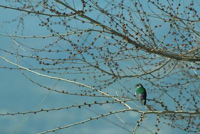 A blue-green swallow takes a break